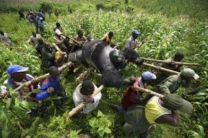 Ranger bergen Gorillas, die unter ungeklärten Umständen getötet wurden Dawei DING / Flickr